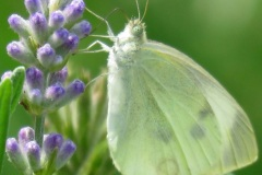 Butterfly with Lavender - Agatha Klym